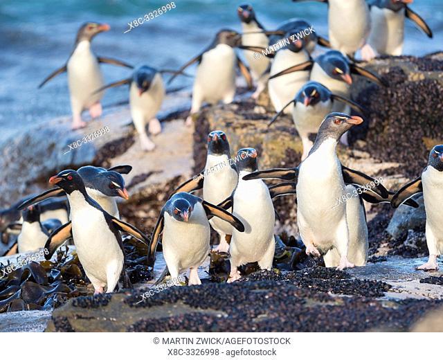 Coming ashore at a rocky coastline on Saunders Island. Rockhopper Penguin (Eudyptes chrysocome), subspecies Southern Rockhopper Penguin (Eudyptes chrysocome...