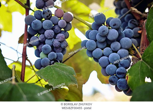 Blue grapes on vine stock