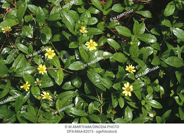 pilabhamgara , wedelia chinensis osbeck merrill , herbal Herb product , Ayurvedic medicine
