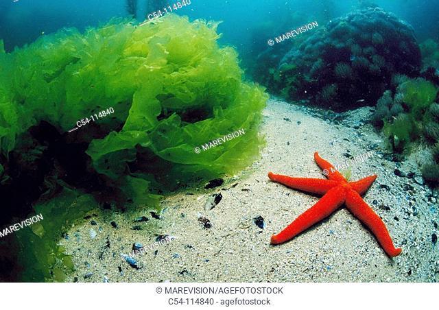 Starfish (Echinaster sepositus) by Sea Lettuce (Ulva rigida). Galicia, Spain