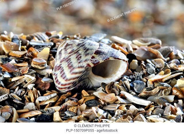 Pennant's top shell (Gibbula pennanti) sea snail on beach