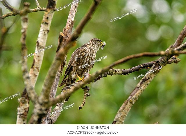 Sharp-shinned hawk (Accipiter striatus) Eating captured songbird prey, Greater Sudbury, Ontario, Canada