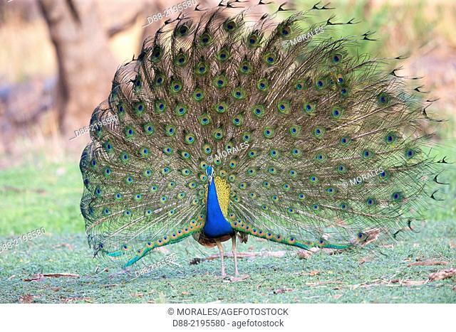 Asia,India,Rajasthan,Ranthambore National Park,Indian Peafowl or Blue Peafowl (Pavo cristatus),male displaying