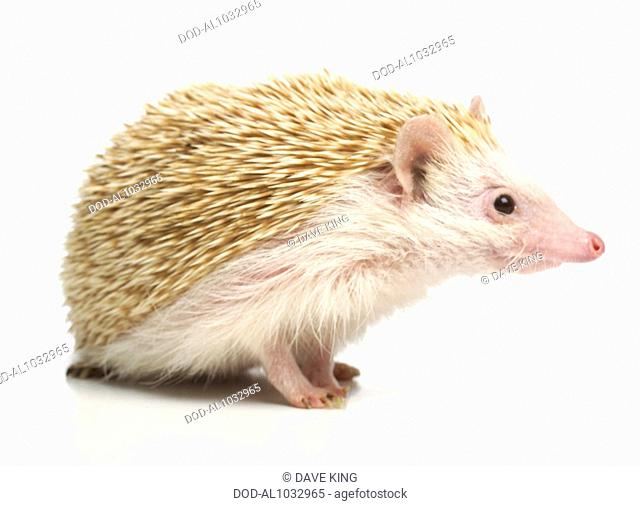 Four-toed Hedgehog, African Pygmy Hedgehog (Atelerix albiventris), pet hedgehog