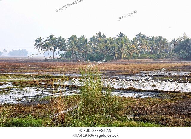 Flock of egrets in wetland in Kerala, India, Asia