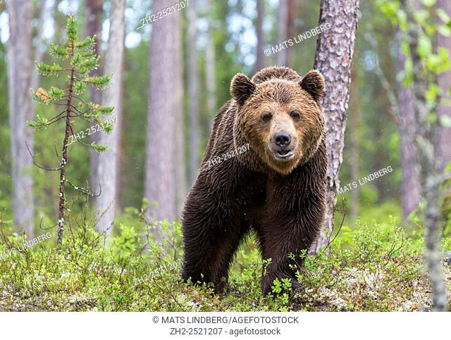 Close up photo ofBrown bear, Ursus arctos, walking in deep forest,looking in to camera, Kuhmo, Finland