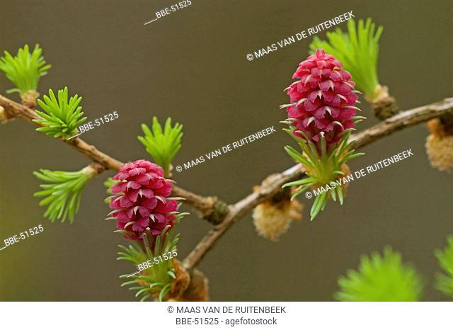 Female flowers of Larix decidua, European larch