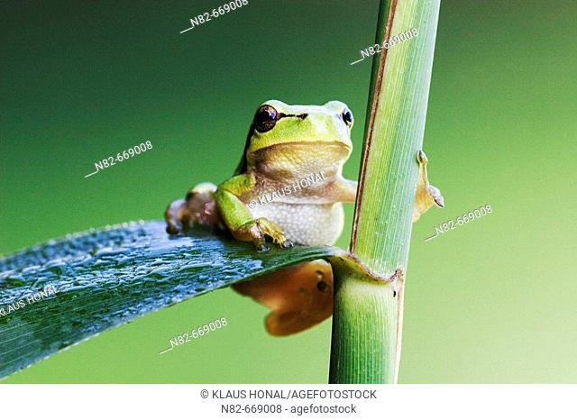 Common Tree Frog (Hyla arborea) climbs on reed