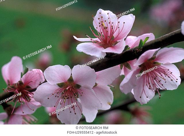 peach blossom, flower, Beautiful pink peach blossoms on a peach tree in the state of Georgia