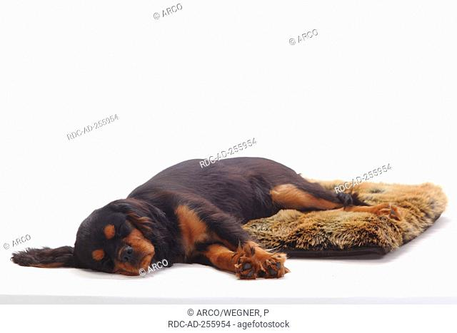 Cavalier King Charles Spaniel puppy black-and-tan 4 months pillow