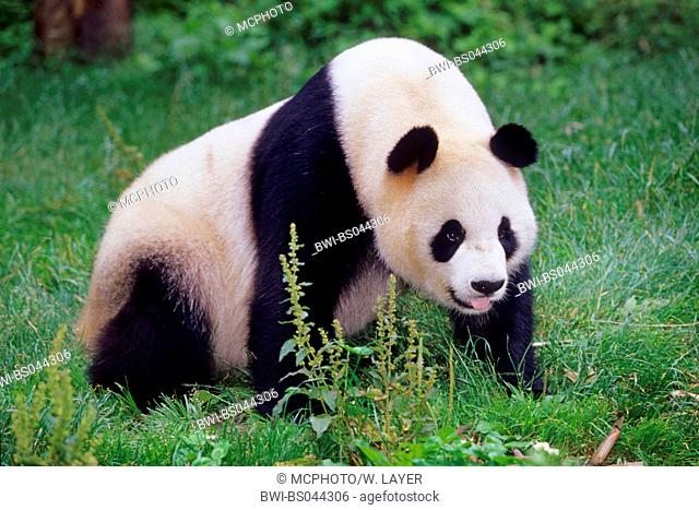 giant panda (Ailuropoda melanoleuca), adult panda in the research station of Wolong, national animal of China, China, Sichuan, Wolong