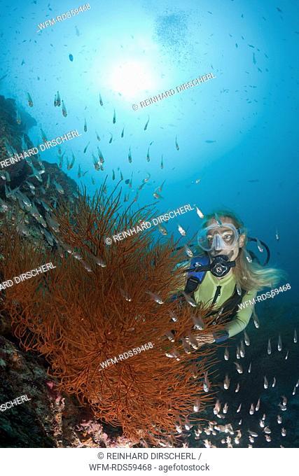 Black Coral and Diver, Antipathes dichotoma, Maya Thila, North Ari Atoll, Maldives