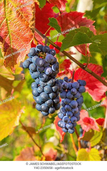 Bunches of wine grapes on vines ripe for picking in vineyard in the Finger Lakes Region of New York State