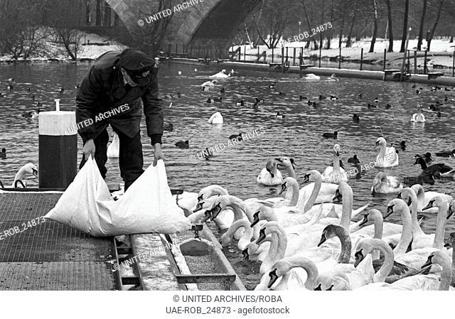 Der Schwanenvater Harald Niess kümmert sich um die Alsterschwäne in Hamburg, Deutschland 1970er Jahre. Stockman Harald Niess