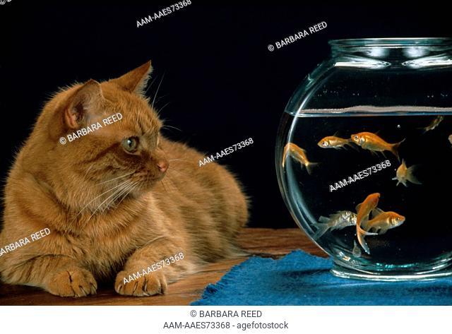 American Domestic Shorthair Cat w/Fishbowl