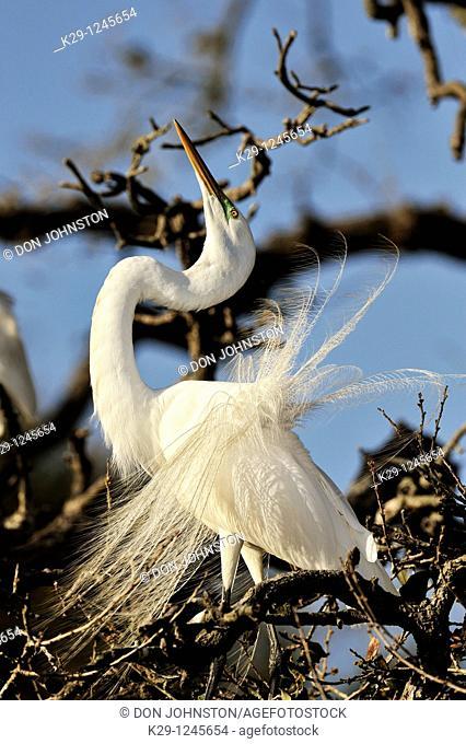 Great egret Casmerodius albus, Ardea alba, Egretta alba displaying breeding plumes at nest site