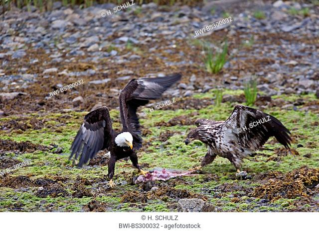 American bald eagle (Haliaeetus leucocephalus), adult and juvenile with prey on the ground, fighting, USA, Alaska, Tongass National Forest