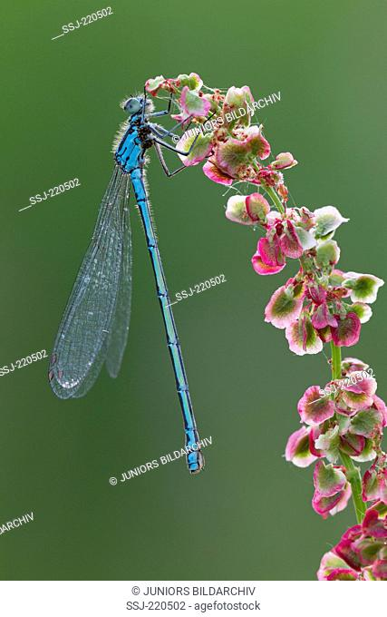 Variable Damselfly (Coenagrion pulchellum). Male with mite infestation on sorrel. Germany