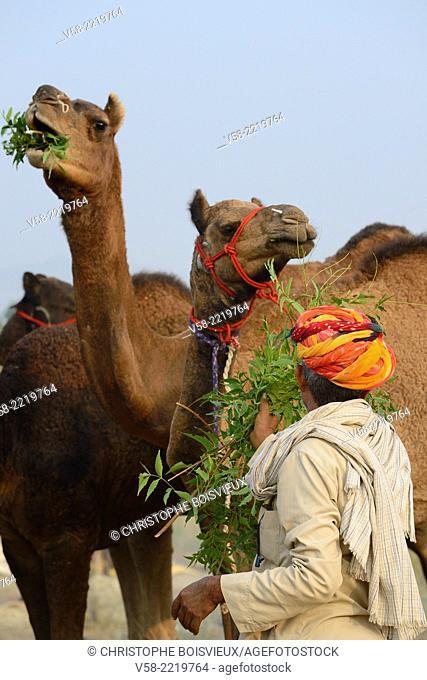India, Rajasthan, Pushkar fair, Camel feeding