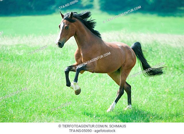 galloping Dutch Riding Pony