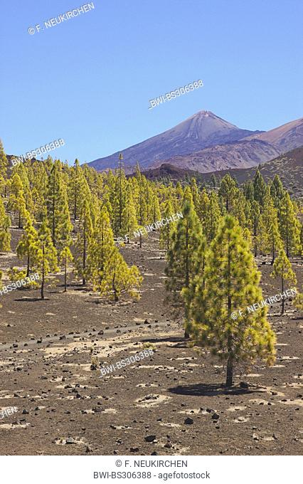 Canary pine (Pinus canariensis), pine forest at Teide, Canary Islands, Tenerife, Teide National Park