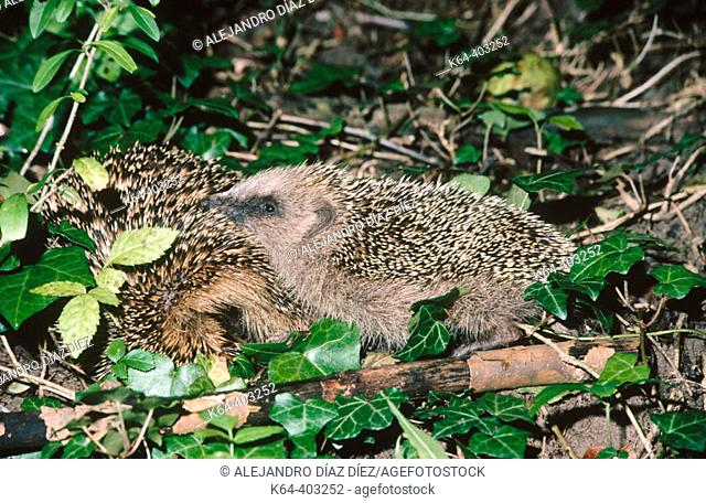 Hedgehog (Erinaceus europaeus) with young