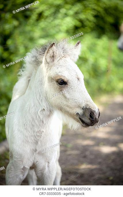 Young light colored icelandic horse foal in a sandy paddock