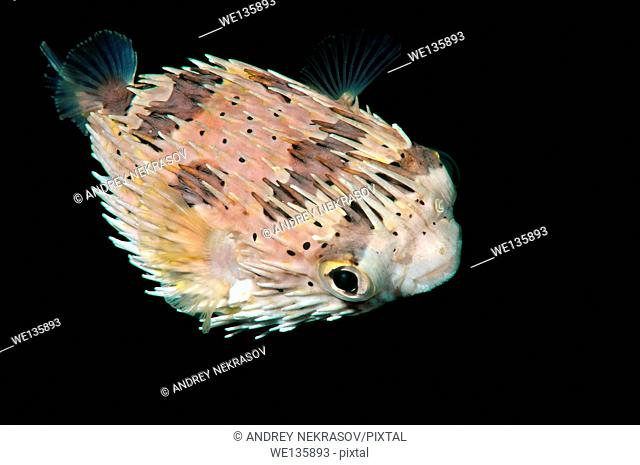 Long-spine porcupinefish, longspined porcupinefish or freckled porcupinefish (Diodon holocanthus) Bohol Sea, Philippines, Southeast Asia