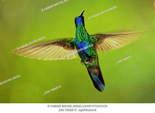 Sparkling violetear (Colibri coruscans)in flight with open wings in the cloud forest, Venezuela