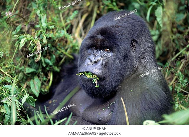 Silverback Mountain Gorilla eating vegetation (Gorilla gorilla beringei) Parc National des Volcans National Park, Rwanda