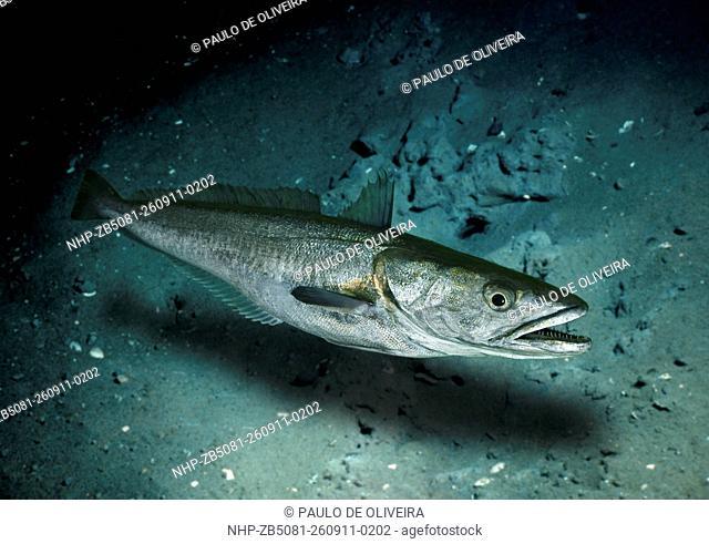 European hake, Merluccius merluccius, lateral view. Composite image. Portugal