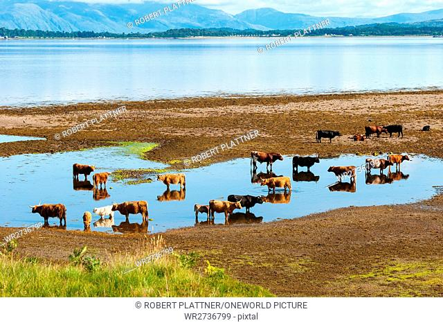 United Kingdom, Scotland, Argyll and Bute, Oban, Scottish Highland Cattle near Oban