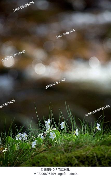 Wood anemones in the forest, anemone nemorosa