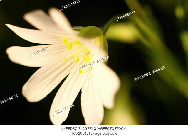 open flower with white petals offering their nectar in Palas de Rei