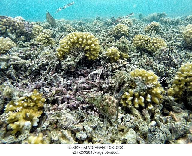 Unhealthy coral reef with multiple broken hard corals