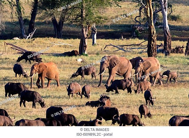 Herd of African elephants (Loxodonta africana), walking on a plain to reach waterhole, Tsavo, Kenya, Africa