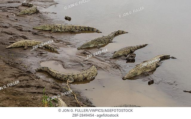 American crocodile, Crocodylus acutus, is found from southern Florida, through the Caribbean and Central America to north and northwest South America