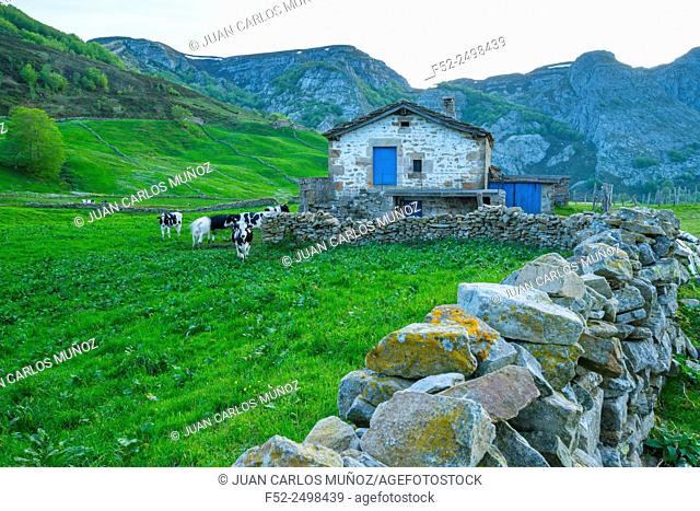 Spain, Cantabria, Valles Pasiegos, Portillo de La Sia, Cows in pasture by stone wall
