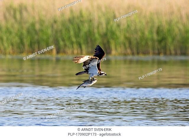 Western osprey (Pandion haliaetus) flying over lake with caught fish in talons