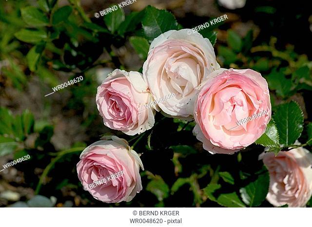 damask roses in the park Freundschaftsinsel