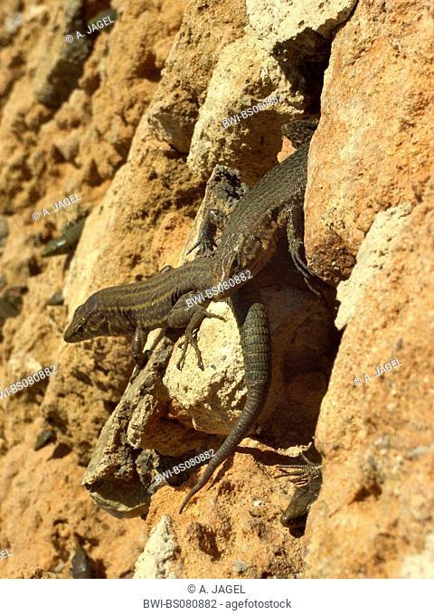 Dragonera's wall lizard, Dragoneras wall lizard, Lilford's wall lizard, Lilfords wall lizard (Podarcis lilfordi giglioli, Lacerta lilfordi giglioli)