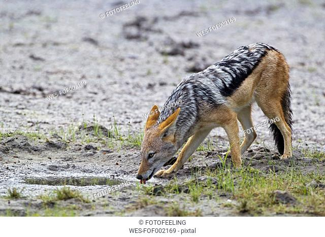 Africa, Botswana, Black-backed Jackal in central kalahari game reserve