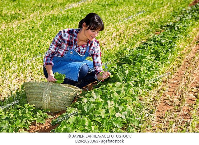 Farmer, Rapini, Broccoli raab, Agricultural field, Funes, Navarre, Spain