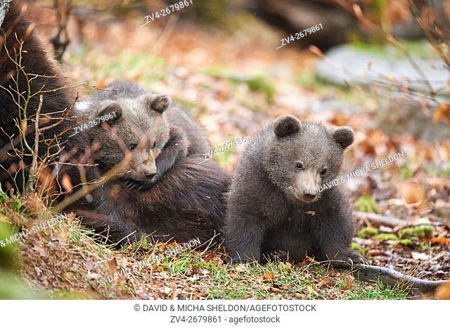 Close-up of two Eurasian or european brown bear (Ursus arctos arctos) cubs in the bavarian forest in spring