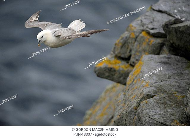 The fulmar Fulmarus glacialis is usually encountered either flying well offshore or resting on remote islands where inaccessible clifftops and ledges offer some...