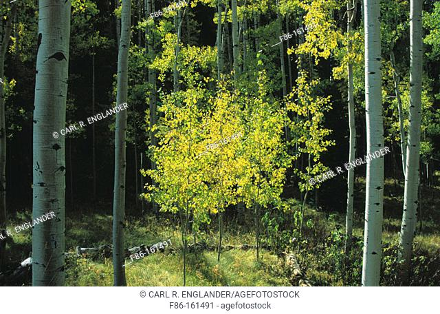 Young Aspen Tree (Populus tremuloides). Uncompahgre National Forest