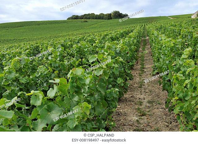 champagne hilly vineyard #1, epernay