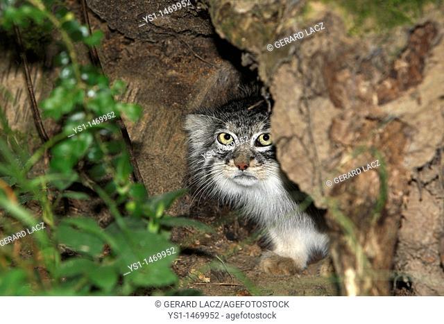 Manul or Pallas's Cat, otocolobus manul, Adult hiding in bole