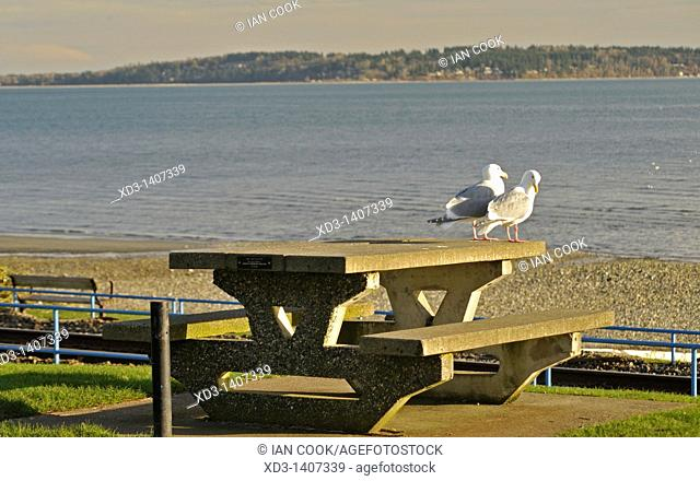 Gulls on a picnic table, White Rock, British Columbia, Canada