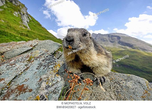alpine marmot (Marmota marmota), sits on a rock, Italy